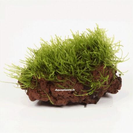 Vesicularia sur Roche Taille Small
