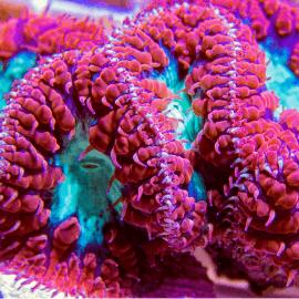 Blastomussa sp. Red-Green mouth 1 tête