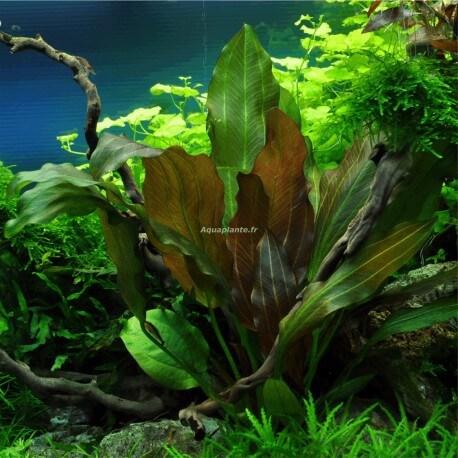 Echinodorus Reni PREMIUM