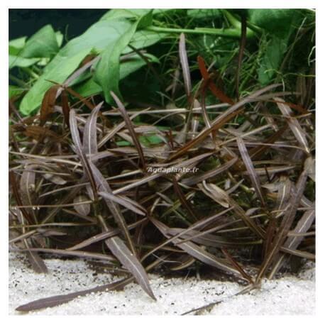 Hygrophila sp Lancea PREMIUM