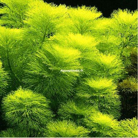 Limnophila Aquatica PREMIUM