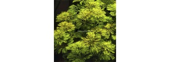 Limnophila Sessiliflora Tropica