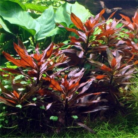 Ludwigia Glandulosa type II
