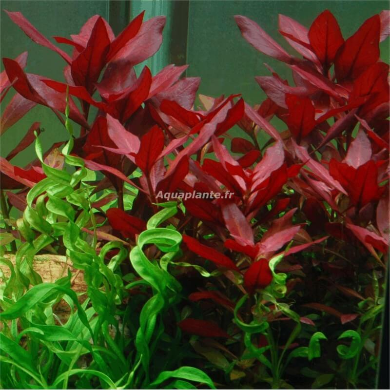 plante arri re plan d 39 aquarium ludwigia repens rubin. Black Bedroom Furniture Sets. Home Design Ideas