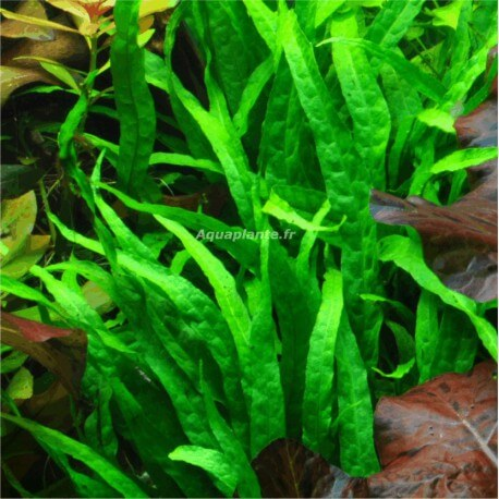 Plante milieu plan d 39 aquarium cryptocoryne cordata pour for Plante aquarium eau douce