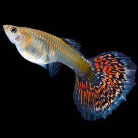 Poecilia reticulata guppy femelle mix color