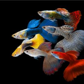 Poecilia reticulata guppy mâle mix color