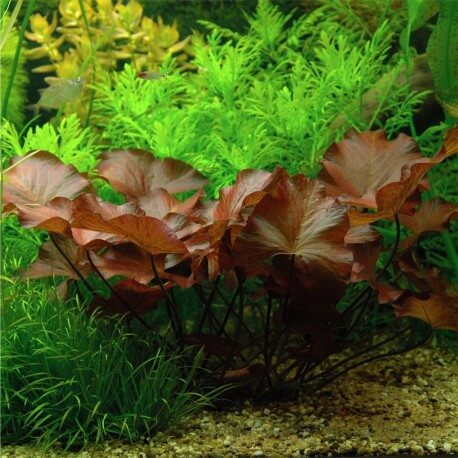 Nymphaea Lotus Zenkeri en Pot Tropica