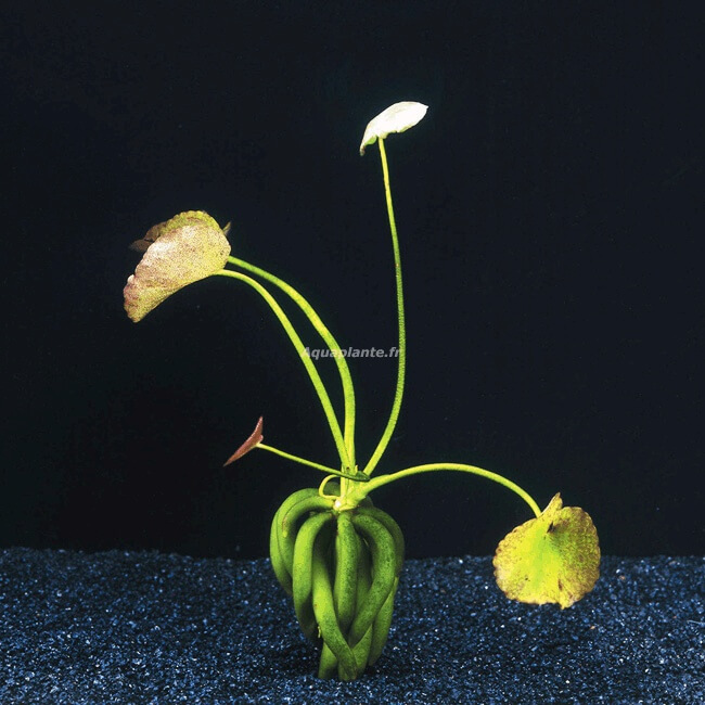 plante aquatique banane