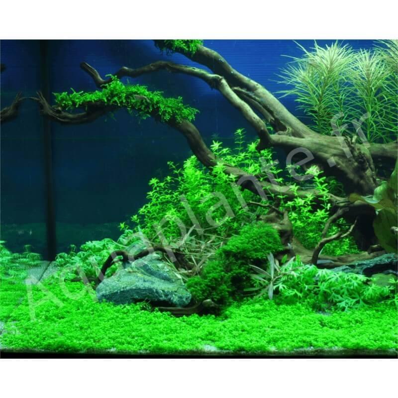 Plantes plantes d 39 aquarium gazonnantes hemianthus callitrichoides pour aquarium eau douce - Plantes d aquarium eau douce ...
