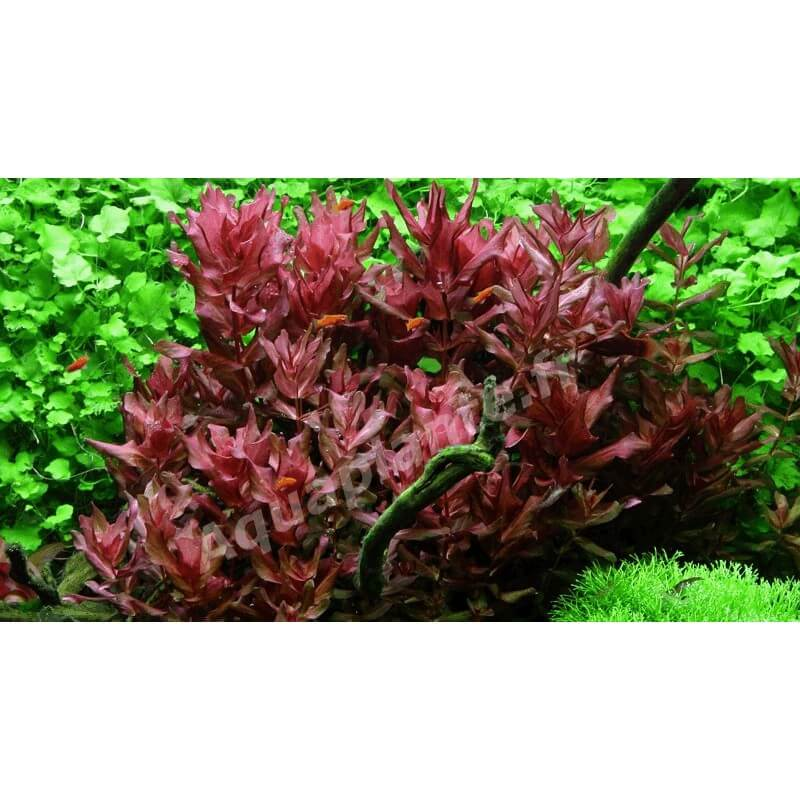 plante arri re plan d 39 aquarium rotala macrandra japan in. Black Bedroom Furniture Sets. Home Design Ideas