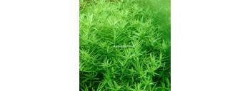 Rotala sp Green PREMIUM