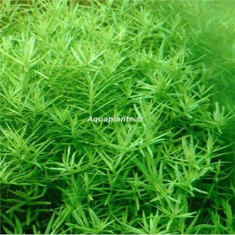plante arri re plan d 39 aquarium rotala sp green premium. Black Bedroom Furniture Sets. Home Design Ideas
