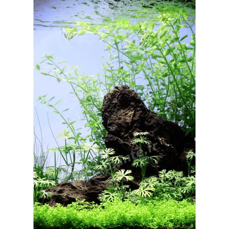 Plantes plantes d 39 aquarium gazonnantes ranunculus inundatus pour aquarium eau douce - Plantes d aquarium eau douce ...