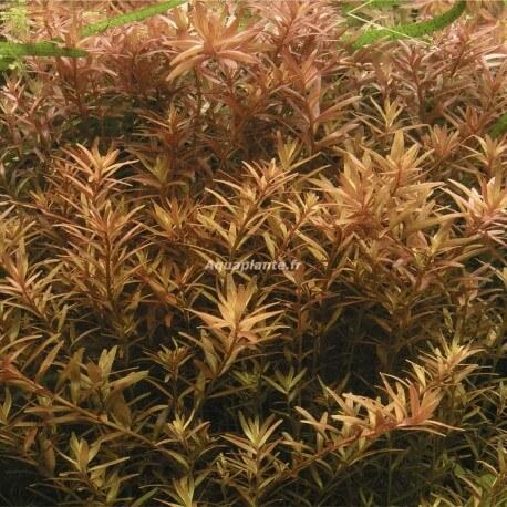 Rotala Rotundifolia PREMIUM