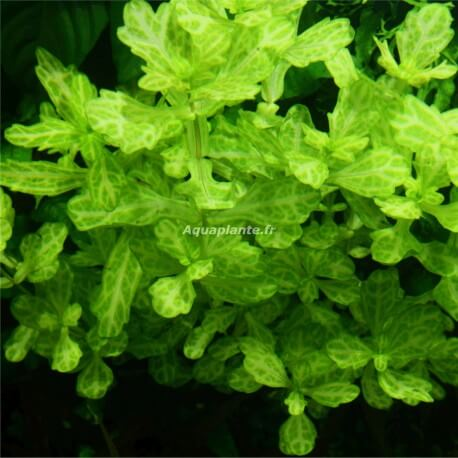Shinnersia Rivularis Weiss-Grün