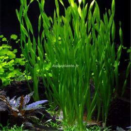 Vallisneria Asiatica Premium