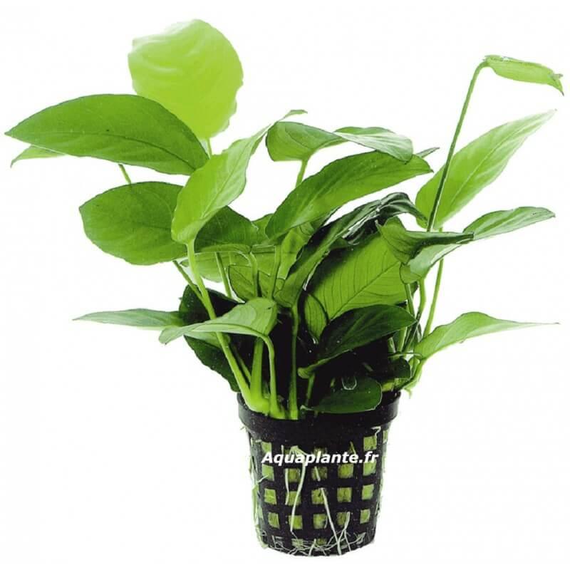 Plante milieu plan d 39 aquarium anubias nana pour aquarium eau douce 5 45