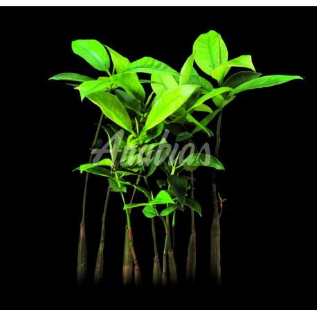Mangrove Américaine