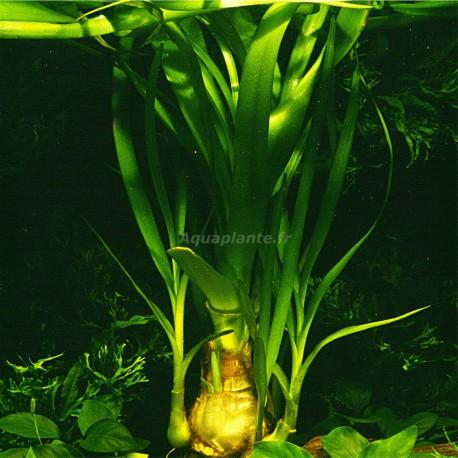 Crinum Thaianum Pied Mère