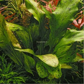 Echinodorus Ozelot Green Pied Mère