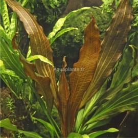 Echinodorus Rubin Pied Mère