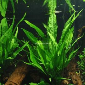 Plantes pieds m res pour aquarium plante d 39 aquarium xl for Achat de plantes par correspondance