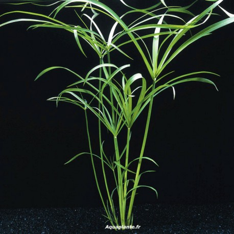 plante arri re plan d 39 aquarium cyperus alternifolius. Black Bedroom Furniture Sets. Home Design Ideas