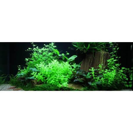 lots de plantes d 39 aquarium pour d butant paysage aquatique n 60 pour aquarium eau douce. Black Bedroom Furniture Sets. Home Design Ideas