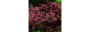 Ludwigia Palustris PREMIUM