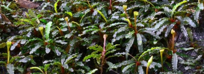 Les Bucephalandras débarquent chez Aquaplante!